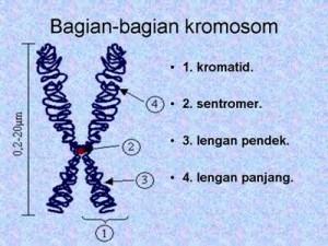 Bagian-bagian kromosom