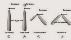 tipe kromosom